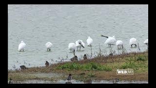 WILDLive! - Oiseaux migrateurs - S02 E01