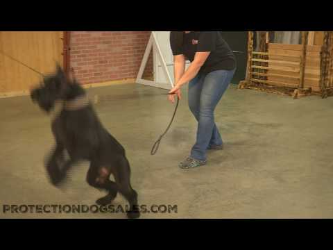 "Giant Schnauzer Female For Sale ""Kaya"" 19 Mo's Protection/Obedience Trained"