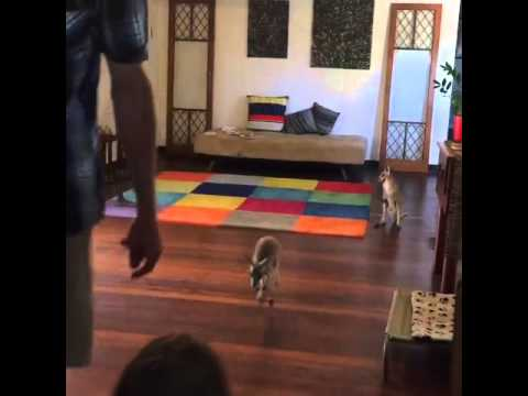 Baby Kangaroos Hopping in the House