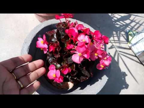 297 How To Grow N Care Begonia Plant Hindi Urdu 15 2 17 Youtube