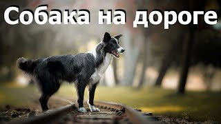 Это важно знать чтобы собаку не сбила машина / Dog safety on the road