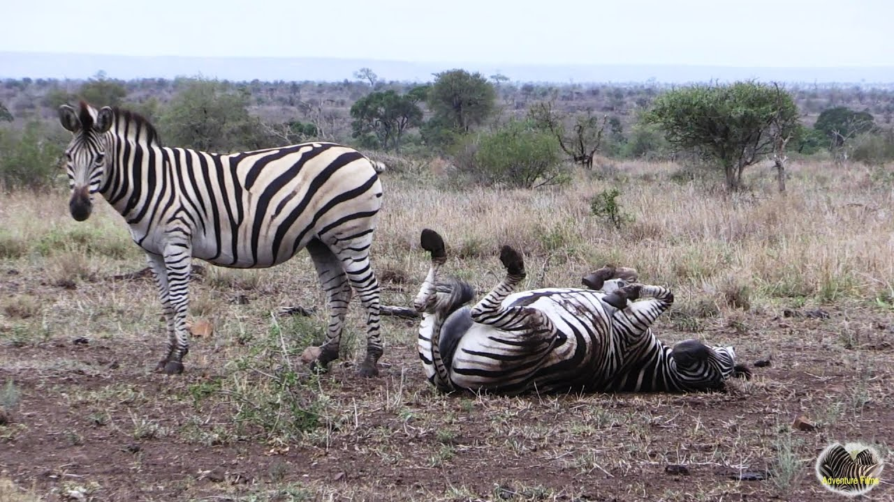 Zebras Grooming And Having Fun