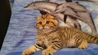 89038745821 Шотландские котята. Вязка с Чемпионом