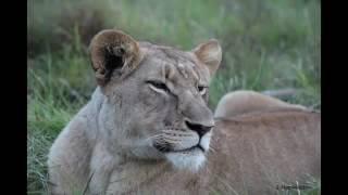 サイの戦いHD対ライオン 野生動物の攻撃2016.