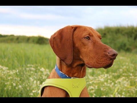 Buddy - 11 month old Hungarian Vizsla - 2 Weeks Intensive Dog Training