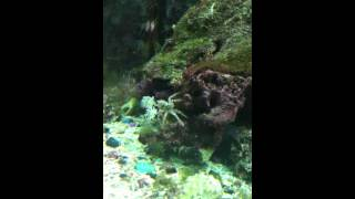 Boxer Crab Pom Pom Crab