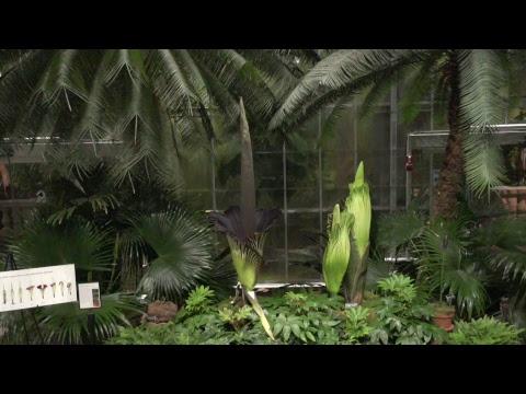 Corpse Flower at United States Botanic Garden Live Stream