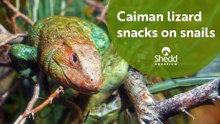 Caiman Lizard Snacks on Snails