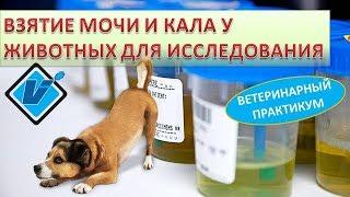Подготовка и взятие мочи и кала у животных для лабораторных исследований.