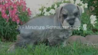 Lily - Miniature Schnauzer Puppy