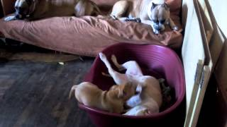 Амстаффы Ценный Приз,продается щенок 3мес.(, 2015-07-18T13:16:48.000Z)