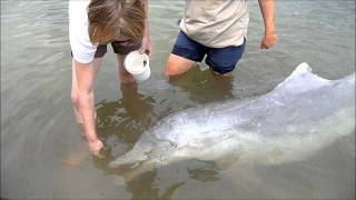 Wild Dolphin feeding at Tin Can Bay Sunshine Coast, Queensland, Australia December 2010