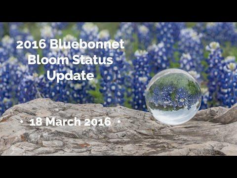 2016 Bluebonnet Bloom Status Update • 18 March 2016