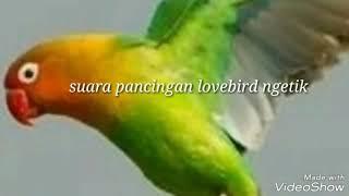 Gambar cover Suara pancingan lovebird ngetik agar lovebird ngekek panjang ( lovebird singing )