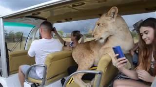 ВАУ   ВИДЕО  !!!Львица -автомобилист снова  в машинке с людьми :)