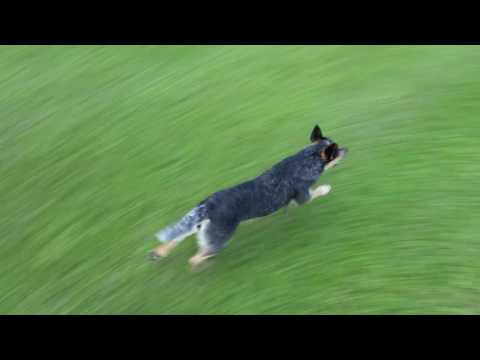 Australian Cattle Dog Star - Fetching Frisbee Compilation