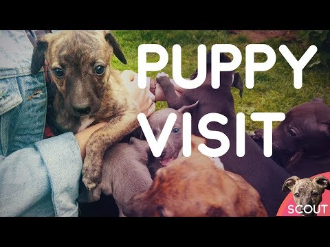Meeting Whippet Puppies - Scout #001