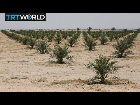 Iraq Agriculture: Project aimed at reviving date plant crops