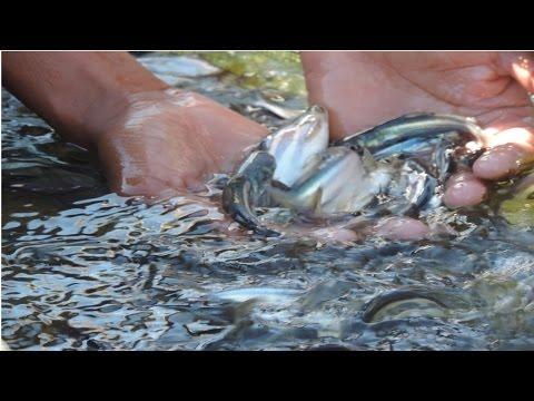 Criação de Peixes - Alevinos