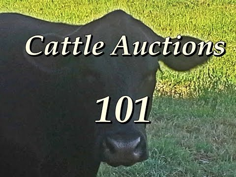 Cattle Auctions 101