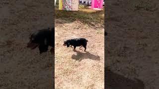 Мой двор,мои собаки бультерьер Этуаль,овчарка Сабина,спаниель Чика, чихуахуа Филипп