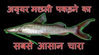 बड़ी अय्यर मछली पकड़ने का सबसे आसान चारा Amazing Fishing Aor Fish Bait Hindi Fishing Tips
