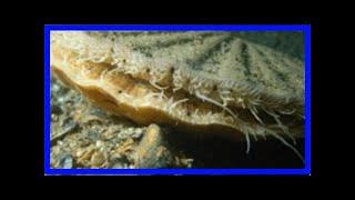 바닷속에서 찾은 '첨단 반사망원경'…가리비의 비밀