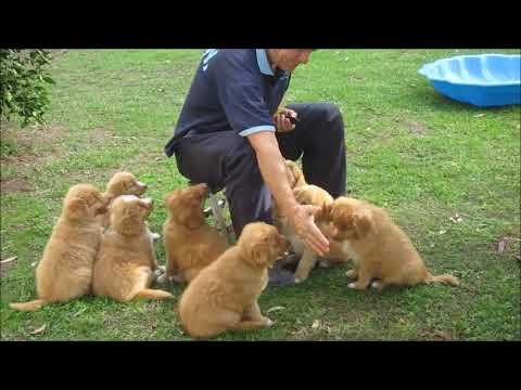 Tolleron 7 week Toller puppy training video