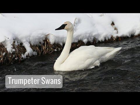 Wonderful Wyoming Wildlife - Trumpeter Swans