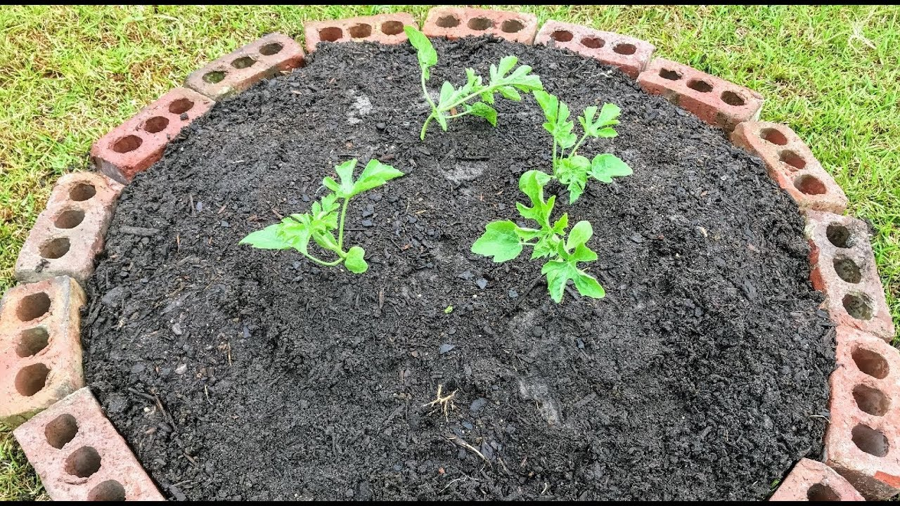 Growing Watermelon On A Hill To Save Garden Space