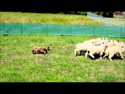 Australian merle kelpie herding sheep in melbourne