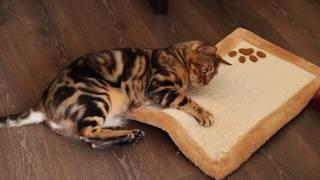 Котик дерет когтеточку (1)