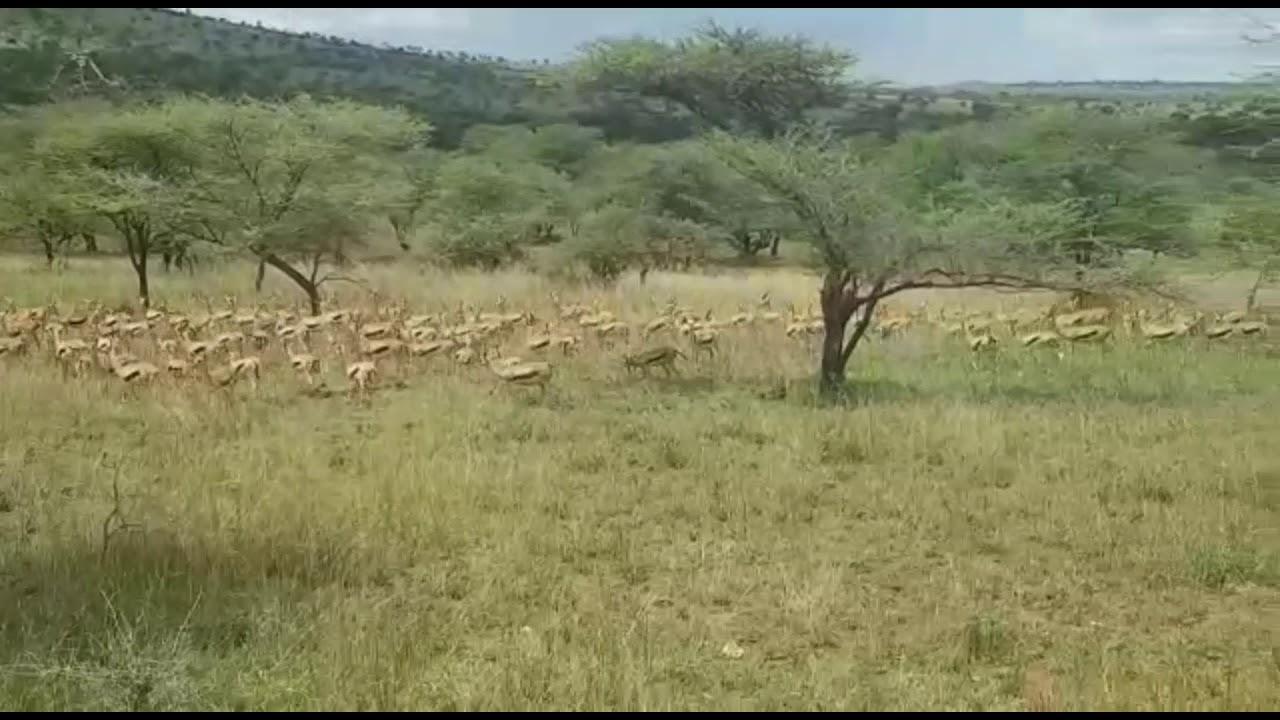 Download Thomson's Gazelle