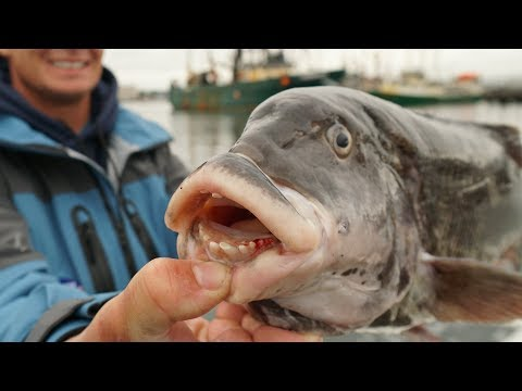 UGLIEST Fish EVER Caught...Catch Clean Cook- Tautog (Blackfish)- New England Pt.4