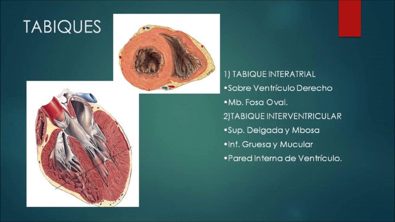 Anatomía del corazón - YouTube