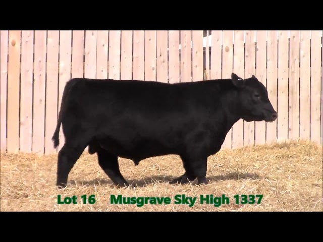 Musgrave Angus Lot 16