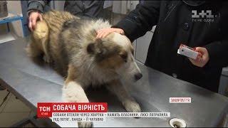 На межі життя і смерті: на Закарпатті дві доби пес не відходив від собаки, яка потрапила під потяг