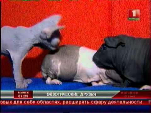 Канадские сфинксы, морские свинки Болдуин