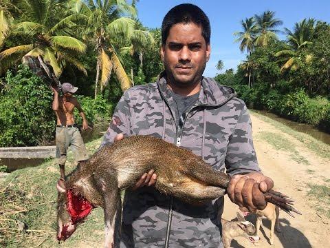 Guyanese Hunting Technique 2, Agouti (Akuri) Caught Live.