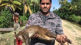 Guyanese Hunting Technique 2, Agouti (Akuri) Caught Live.