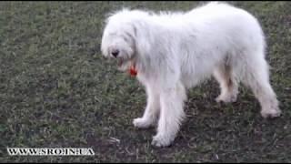 Южнорусская овчарка на прогулке