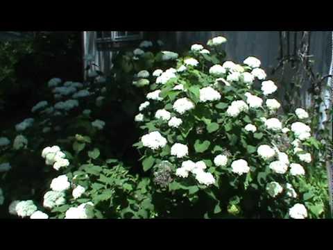Snowball Bush Plant Youtube