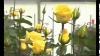 видео Купить долгосвежие розы. Заказать долгосвежие розы с доставкой