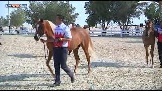 بطولة لجمال الخيول العربية