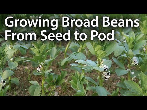 How to Grow Broad Beans for Maximum Production (Fava Beans)