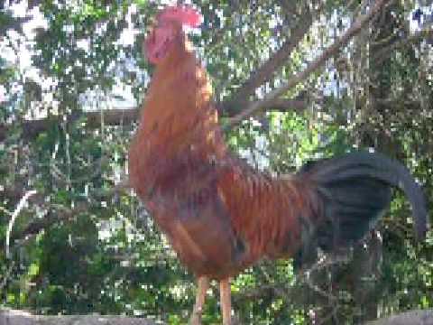 el canto del gallo mañanero