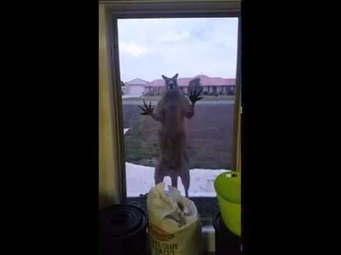 Geoff the Window Smashing Kangaroo
