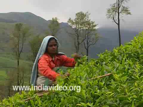 Tea Plucking, Munnar