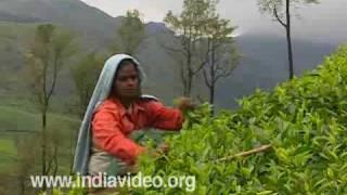 Tea plucking, Munnar, Gardens