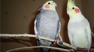 Продажа попугаев в Туле